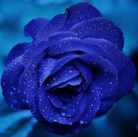 Blue Rose of Happiness!